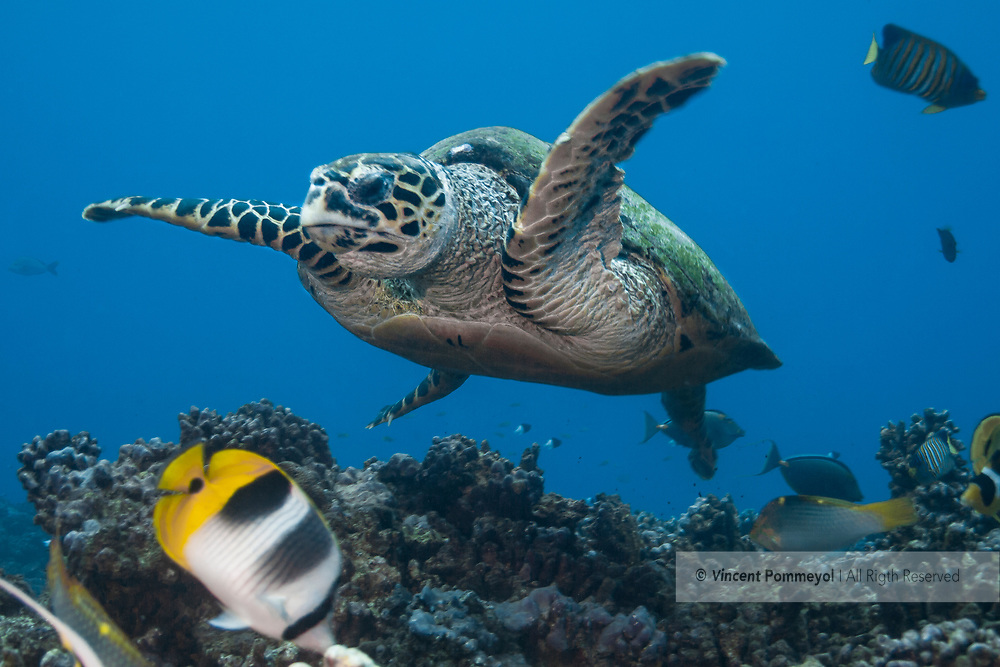 Hawksbill sea turtle-Tortue imbriquée (Eretmochelys imbricata), Rangiroa atoll, French Polynesia.