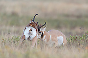 Two pronghorn bucks (Antilocapra americana) battle it out over nearby does, Western Montana