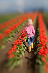 North America, United States, Washington, Mount Vernon, girl (age 5) in tulip fields at annual Skagit Valley Tulip Festival, held in April.  MR