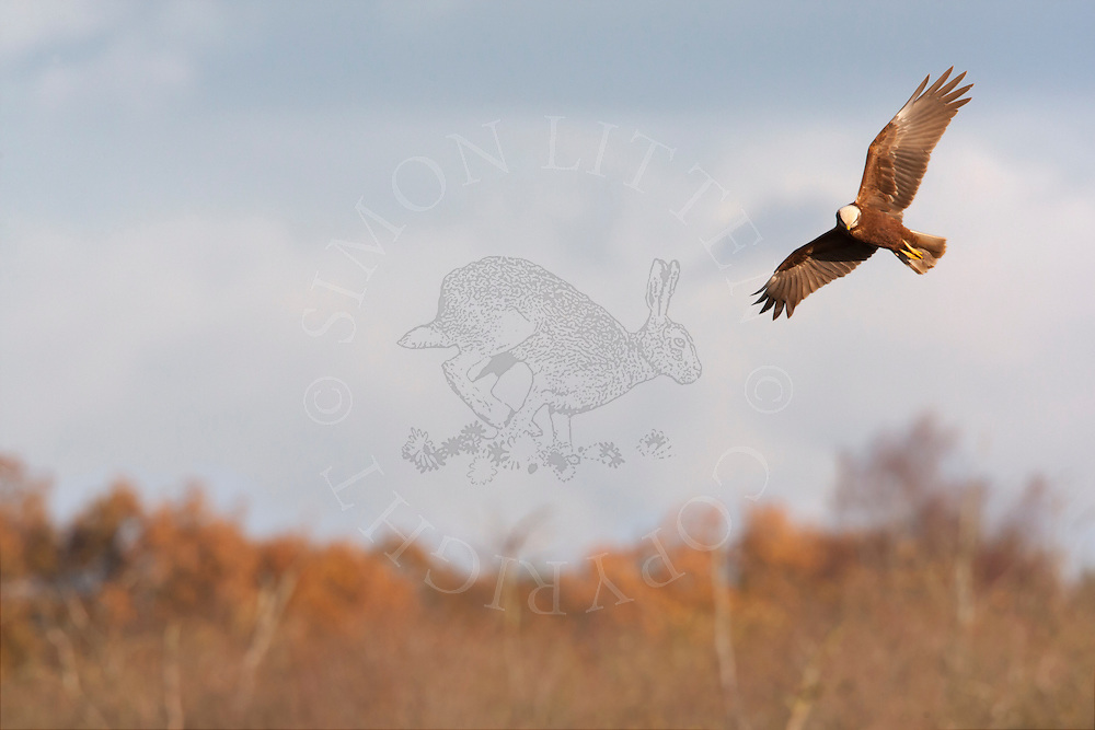 Marsh Harrier (Circus aeruginosus) juvenile in flight, hunting, Norfolk, UK.