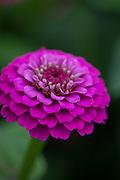 Zinnia elegans 'Liliput Purple' - elegant zinnia