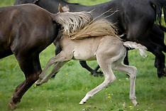 Rocky Mountain Horse 2009