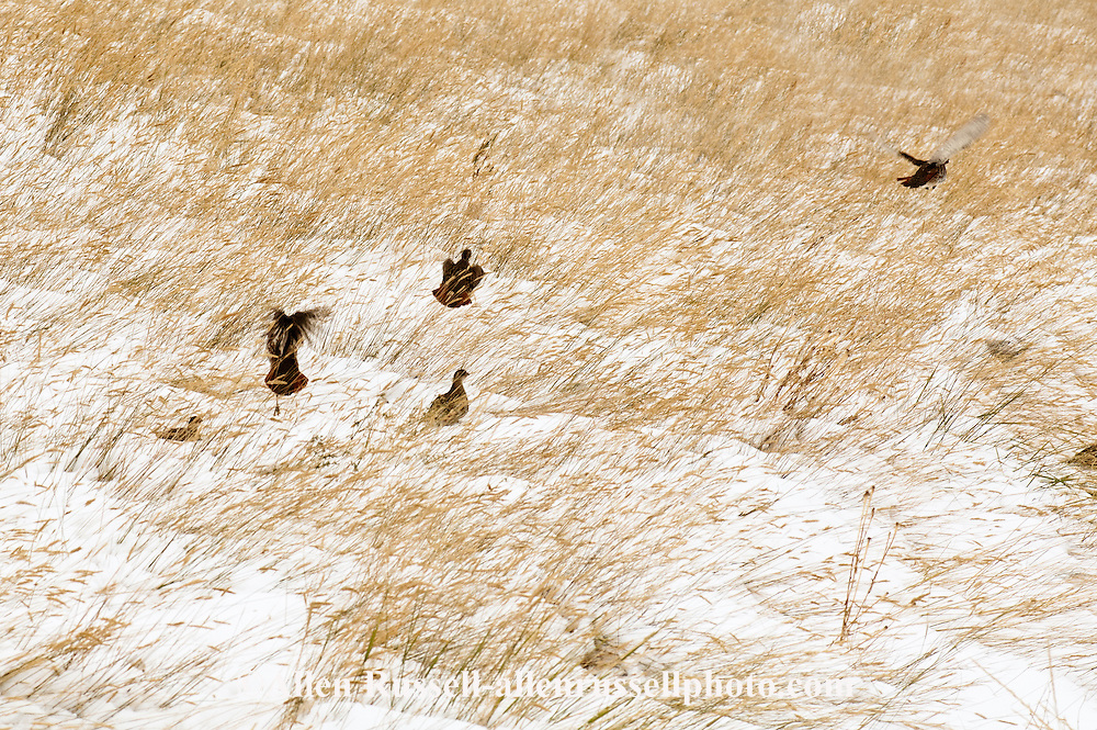 Gray Partridge, Hungarian Partridge, (Perdix perdix), Montana