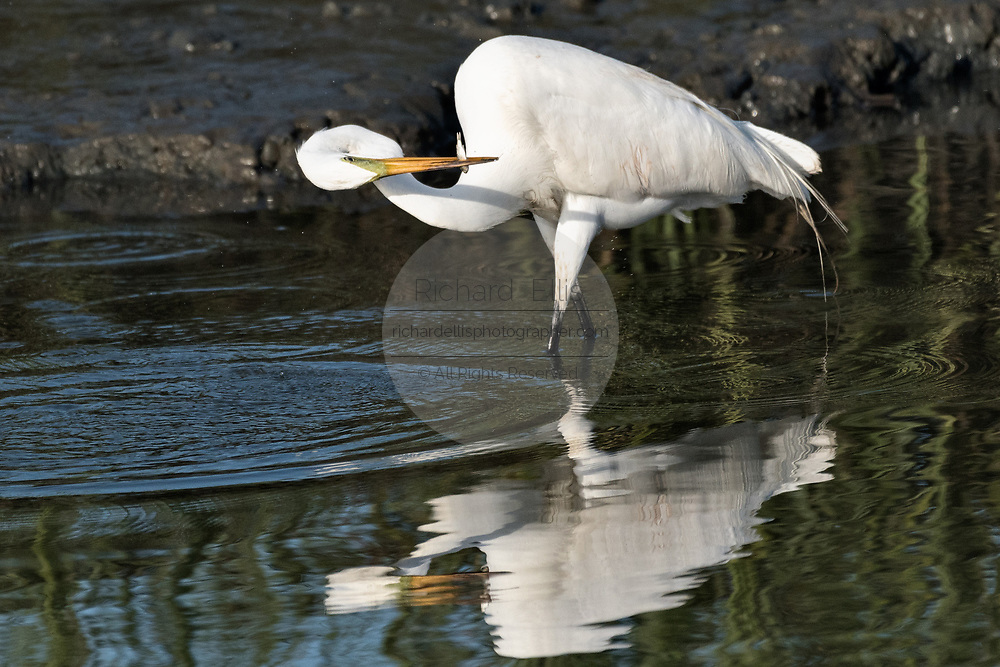 A great egret also called a great white heron looks at a fish it captured in the salt marshes of the Cape Romain National Wildlife Refuge near Charleston, South Carolina. The 66,287 acre National Wildlife Refuge encompass water impoundments, creeks, bays, emergent salt marsh and barrier islands most of which is only accessible by boat.