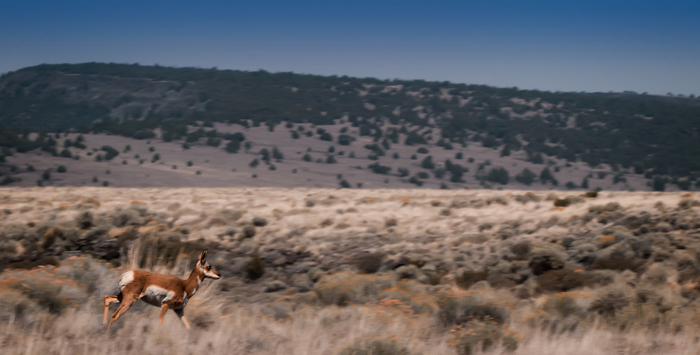 A single antelope moving fast through high desert grasses with hills in the background.