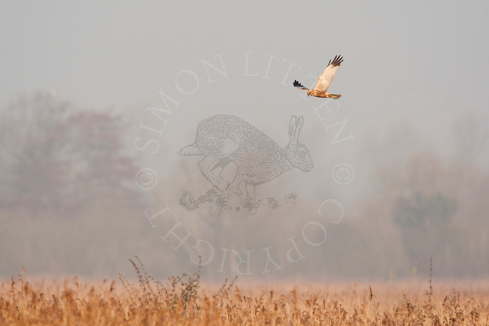 Western Marsh Harrier (Circus aeruginosus) adult male, in flight, hunting over reed bed, Norfolk, England.
