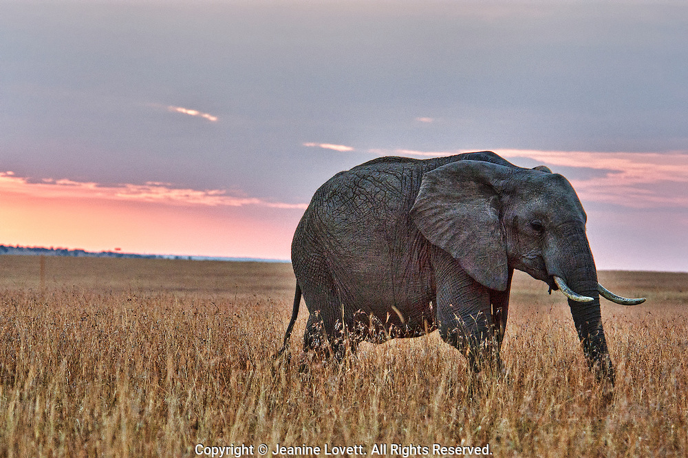 Africa elephant walking just as the sun is setting. The image is different because you don't usually see elephants in a dark scene with a pink sky.