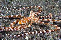 """""""Wunderpus"""" on the seafloor.Shot in West Papua Province, Indonesia"""