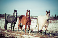 3 horses grey brown white, Alberta Canada