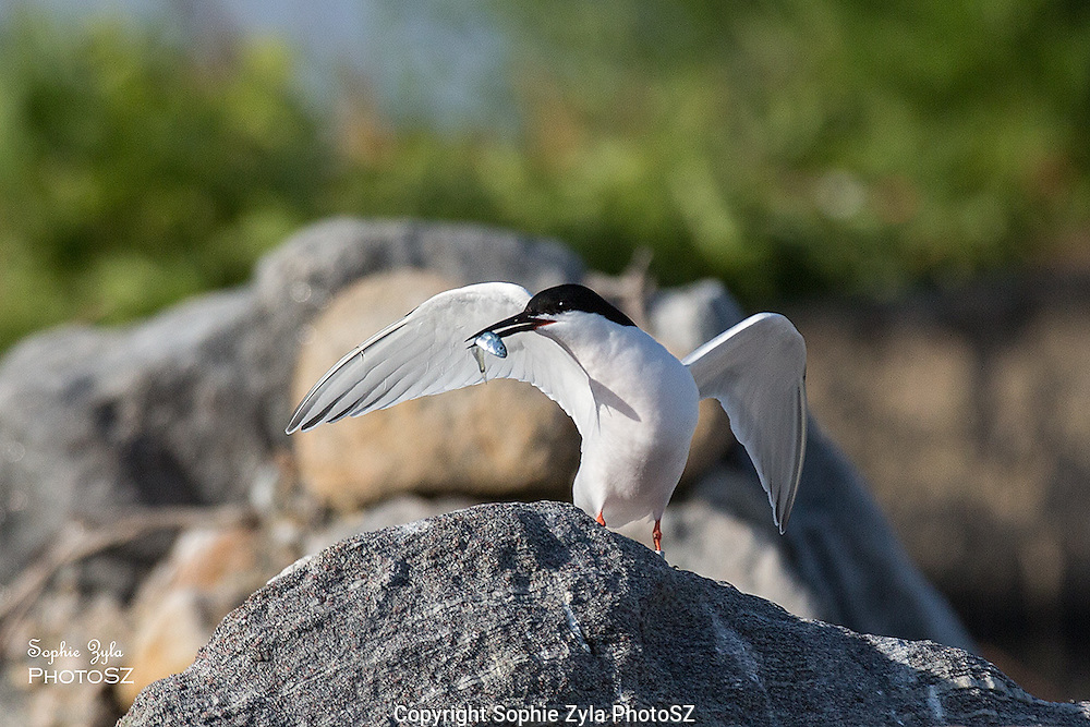 Roseate Tern with Fish