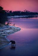 Elephant at twilight, Loxodonta africana, Chobe River, Botswana