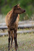 Young elk, yearling elk, elk calf, Elk, Yellowstone, Yellowstone National Park, Wyoming