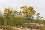 Slender Fragrant Goldenrod; Solidago tenuifolia' NJ, Cape May