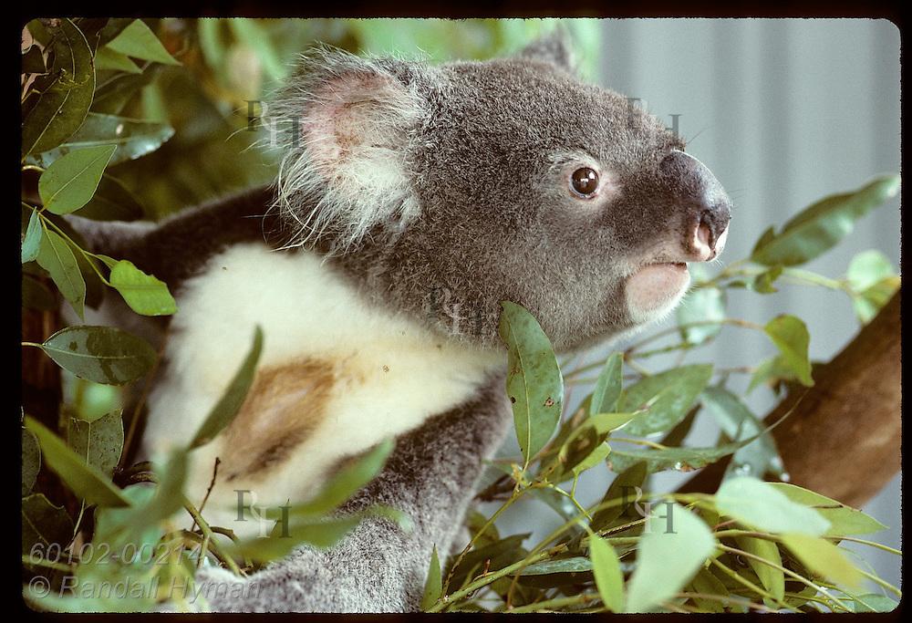 Koala in eucalyptus leaves reveals chest stain from male scent gland @ U of Queensland;Brisbane Australia