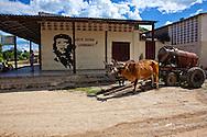 Oxen in Four Corners, Holguin, Cuba.