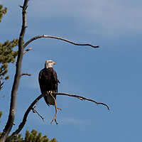 Bald eagle in snag. Gallatin Canyon, Montana.