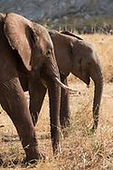 A pair of elephants (Doxondonta africana) in Tarangire National Park, Manyara Region, Tanzania, Africa