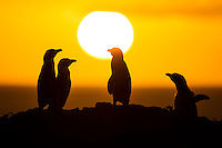 African Penguins Silhouetted at sunrise, Bird Island, Algoa Bay, Eastern Cape, South Africa