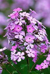 Phlox paniculata - Perennial phlox