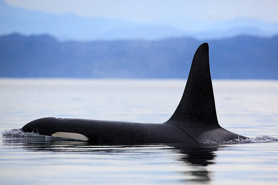 Killer whale in Johnstone Strait, BC, Canada