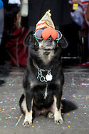 Europe, Germany, North Rhine-Westphalia, Cologne, carnival, dog with duncecap, sunglasses and red false nose on November 11, 2011 (each year on this date the carnival starts)...Europe, Deutschland, Nordrhein-Westfalen, Koeln, Karneval, Hund mit Narrenkappe, Sonnenbrille und roter Pappnase am 11.11.11.