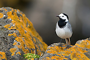 The White Wagtail (Motacilla alba) is a small passerine  bird in the wagtail  family Motacillidae, which also includes the pipits  and longclaws. This species  breeds in much of Europe and Asia and parts of north Africa.