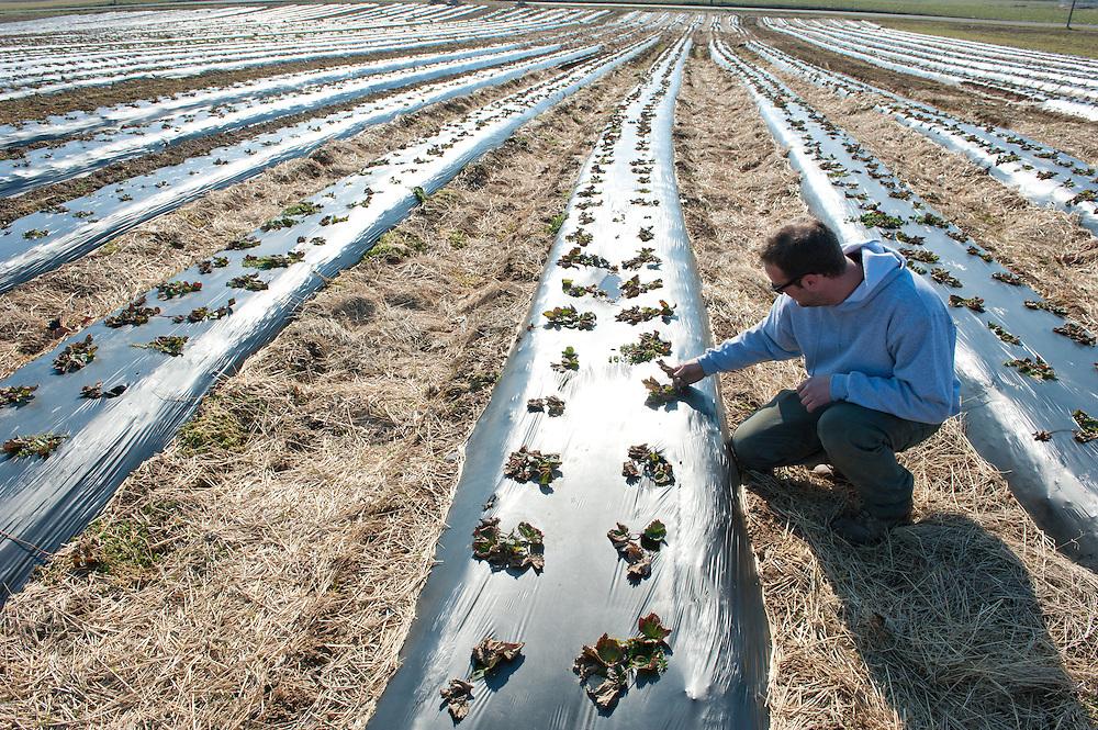 Farmer in row of strawberry plants on plastic