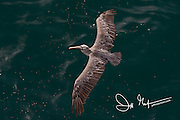 An aerial view of a Brown pelican in flight over the Pacific ocean near the Galapagos islands of Ecuador.
