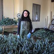 una lavoratrice in una azienda produttrice di verde ornamentale a Magliolo in Liguria