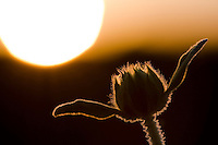 Wild flower at sunset in the Salentine countryside.