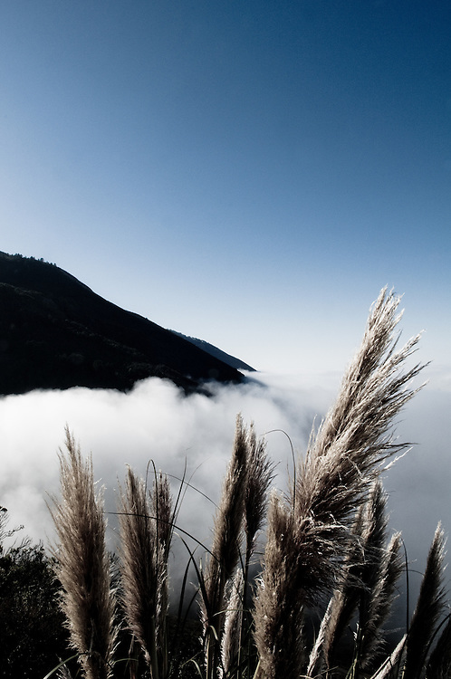Pampas grass (Cortaderia selloana) invasive species. Big Sur, California. Highway 1 covered in an early morning fog.