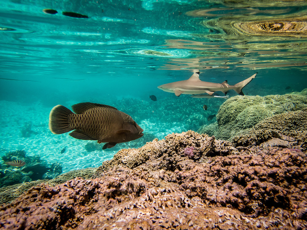 A napoleon fish, a reef shark and more fishes swim in the reef waters of the south pass in fakarava atoll.