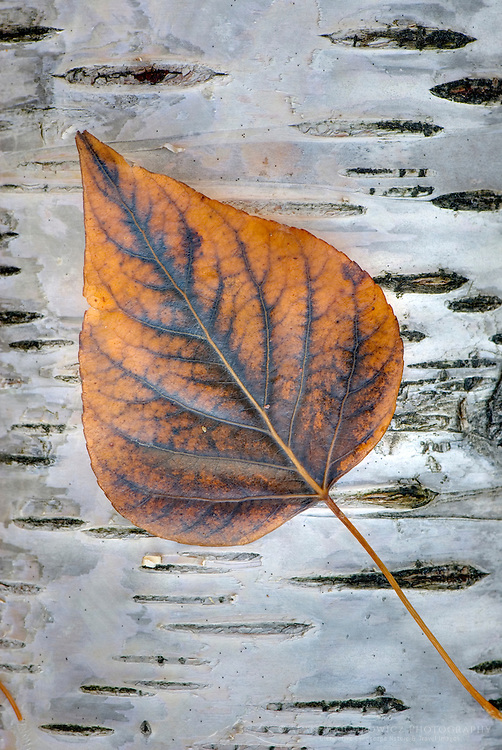 Cottonwood leaf on Paper Birch trunk, Glacier National Park Montana USA