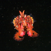 A close-up of a Flamboyant Cuttlefish (Metasepia pfefferi).