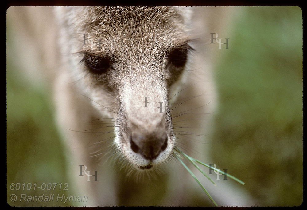 In portrait from above, wallaroo, or euro, (smallest kangaroo) chews some grass; (h) Wagga, NSW Australia