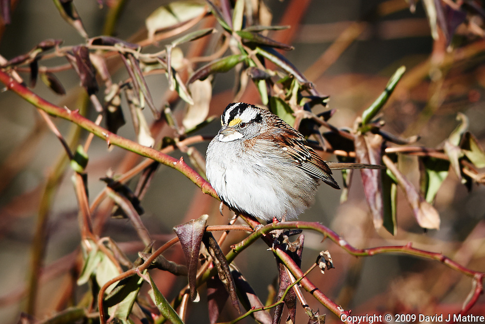 White-throated Sparrow. Image taken with a Nikon D3x and 400 mm f/2.8 VR lens (ISO 320, 400 mm, f/4, 1/1000 sec).