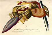 Coloured Copperplate engraving of a Banana (Musa) plant from hortus nitidissimus by Christoph Jakob Trew (Nuremberg 1750-1792)