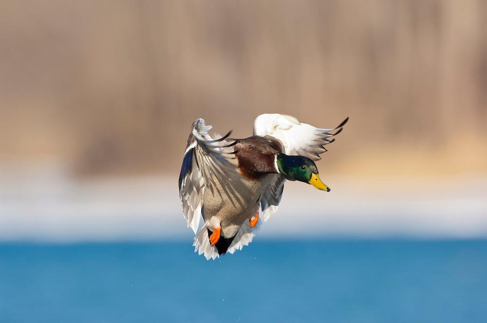 Mallard, Anas platyrhynchos, male, Detroit River, Ontario, Canada