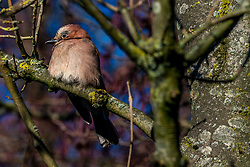 20-01-2019 NED: Birdwatch around your garden, Maarssen<br /> Gaai (Garrulus glandarius)