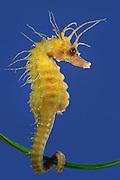[captive] Long-snouted seahorse (Hippocampus guttulatus) | Haariges Seepferdchen (Hippocampus guttulatus) Multimar Wattforum in Tönning