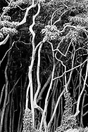 MOLOKAI, HI - A view of a tangled mass of tree trunks in Halawa valley on the Pacific island of Molokai, Hawaii.