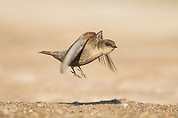 Rock Martin taking to flight, De Hoop Nature Reserve, Western Cape, South Africa