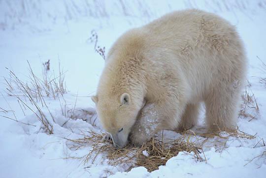 Polar Bear, (Ursus maritimus) Cub digging. Churchill, Manitoba. Canada.