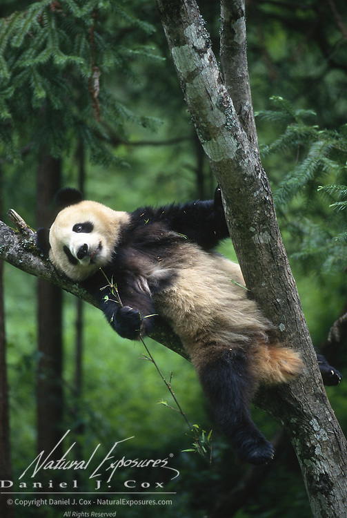 Giant panda (Ailuropoda melanoleuca) in a tree at Wolong National Nature Reserve in Sichuan, China. Captive Animal
