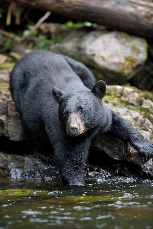 USA, Alaska, Kake, Black Bear (Ursus americanus) wades into deep water while fishing for spawning Chum Salmon in Gunnuk Creek in early summer