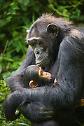 Chimpanzee<br /> Pan troglodytes<br /> Mother suckling 4 month old infant<br /> Tropical forest, Western Uganda