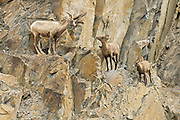 Young American or Rocky Mountain bighorn sheep (Ovis canadensis canadensis) on cliff ledge in Jasper National Park<br />Jasper National Park<br />Alberta<br />Canada
