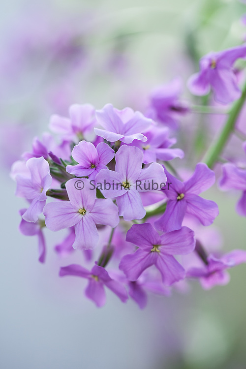 Hesperis matronalis - sweet rocket