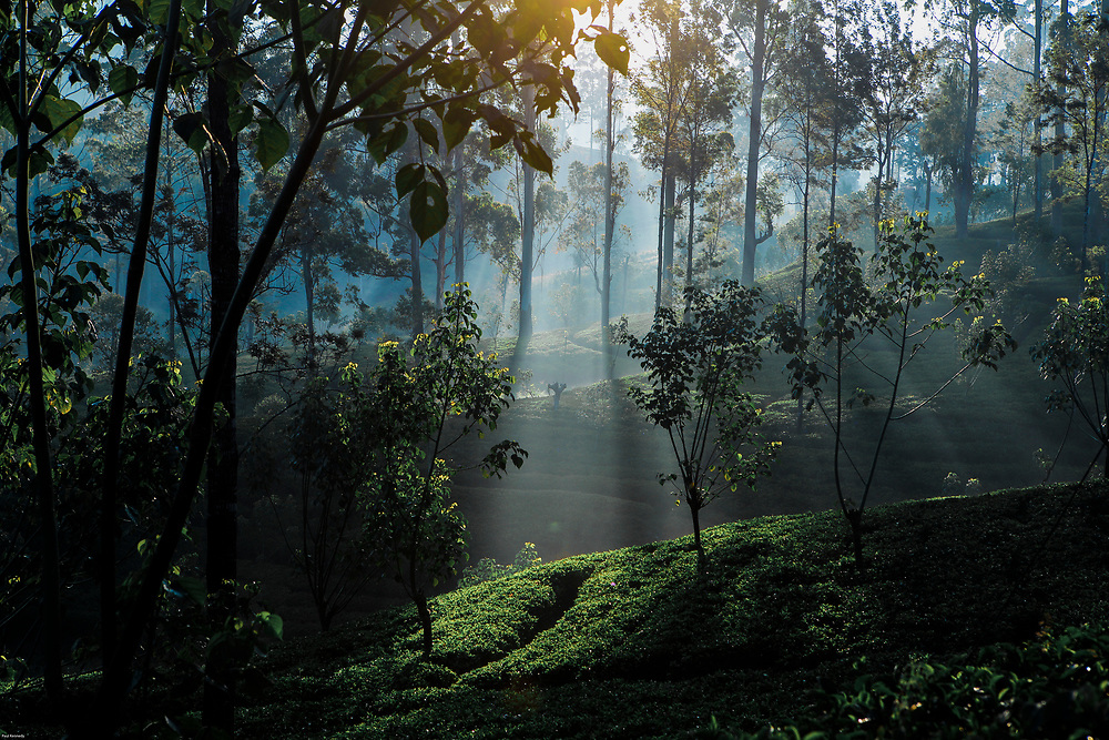 Light shining through tea plantation in Sri Lanka