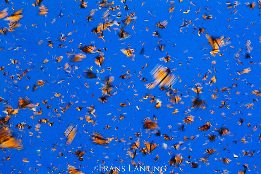 Monarch butterflies in flight, Danaus plexippus, Michoacan, Mexico